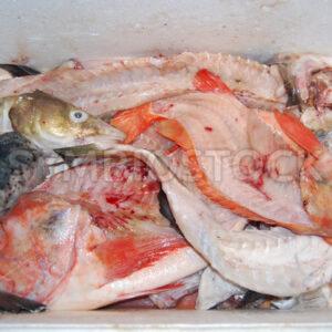 Fischabfälle für die Zubereitung von Fischfond - Fotos-Schmiede